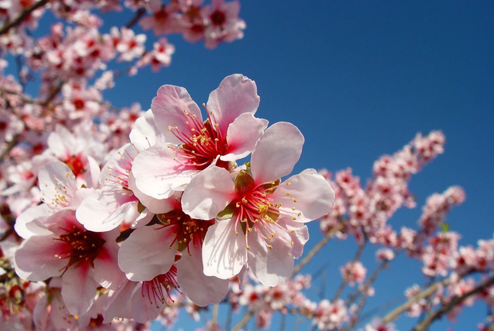 Almond Blossom in Andalusia